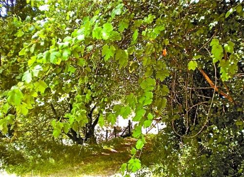 Una vid silvestre ubicada en el camino al barrio de La Abadía, en Angulo, que se confunde con el resto de vegetación.