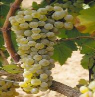 chardonnay Blanca